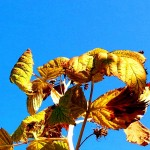 Raspberry Leaves in the Fall