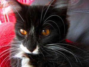 black and white kitten with amber eyes