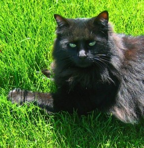 black cat on the grass