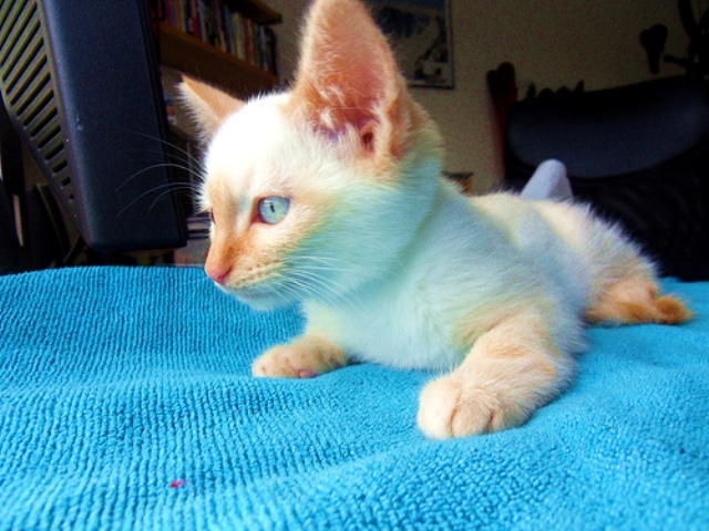 Red Point Siamese Kittens For Sale Flame Point Siamese Kitten