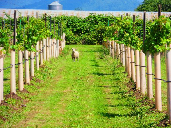 Sheep in a Vineyard