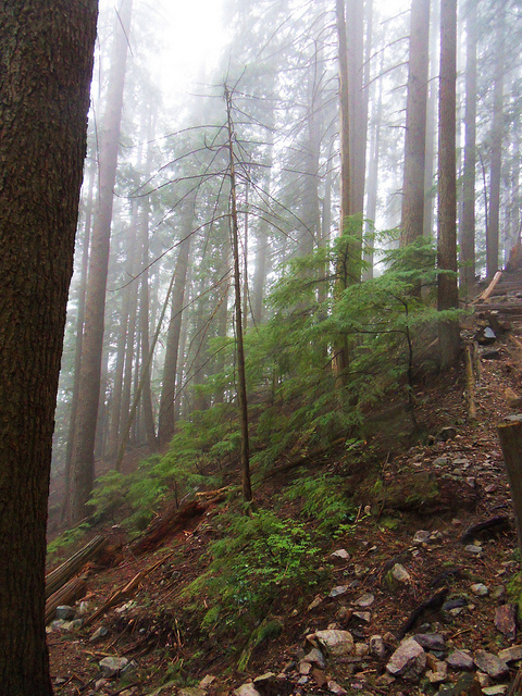 Forest on Grouse Mountain