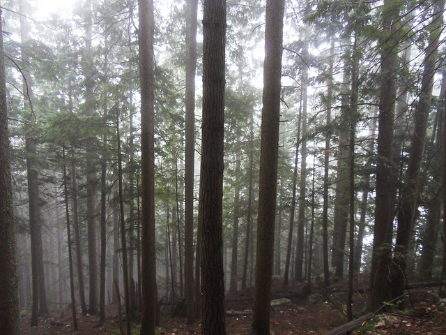 Misty Trees on Grouse Mountain