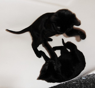 Kittens Fighting in Bathtub