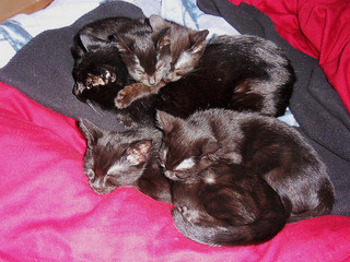 Kittens Piled on Cat