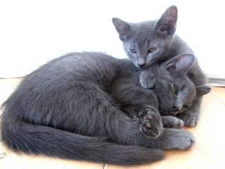 Russian Blue Kittens