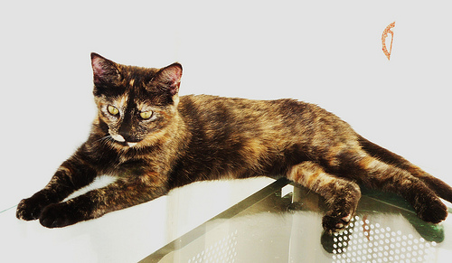 Learn about calico cats images