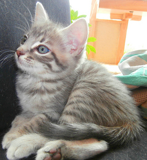 Blue-Eyed Tabby Kitten