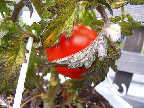 Tomato Plant Turning Purple