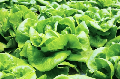 Butter Lettuce, Image Courtesy of Feelart, FreeDigitalPhotos.net