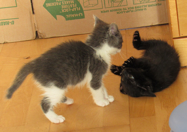 Scrappy and Cory - Kitten Fight