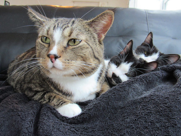 Resident Cat with Foster Kittens