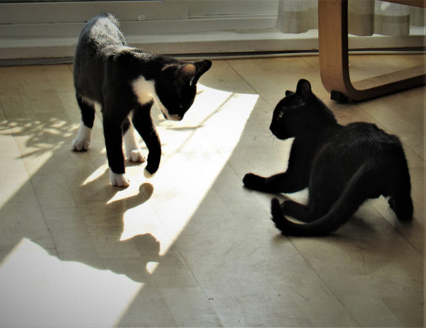 Prelude to a Kitten Fight
