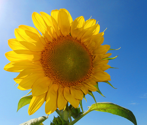 Sunflower Growing in a Container
