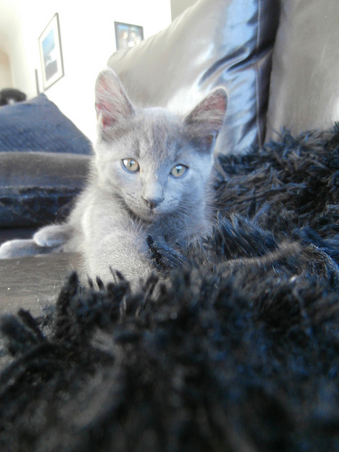 Kitten with Security Blanket