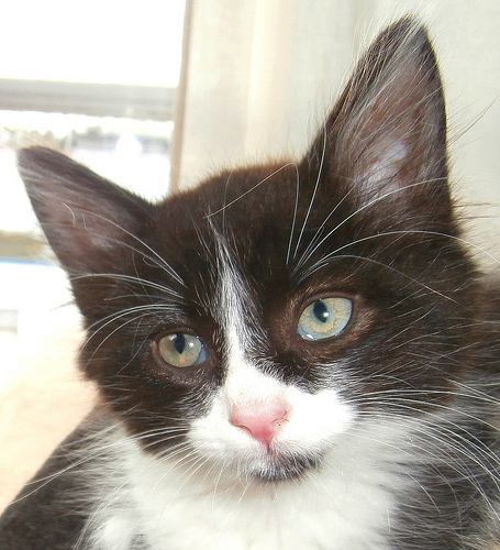Black and White Kitten, Semi-Longhair