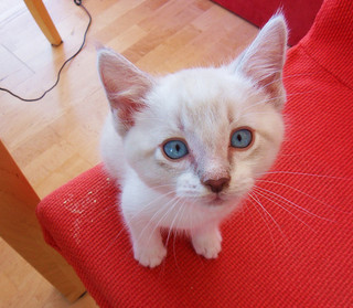 Blue-Eyed Kitten
