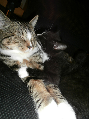 Cat and Foster Kitten