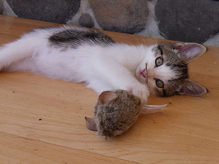 Kitten with Cat Toy