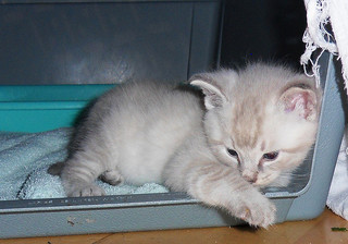 five-week-old kitten