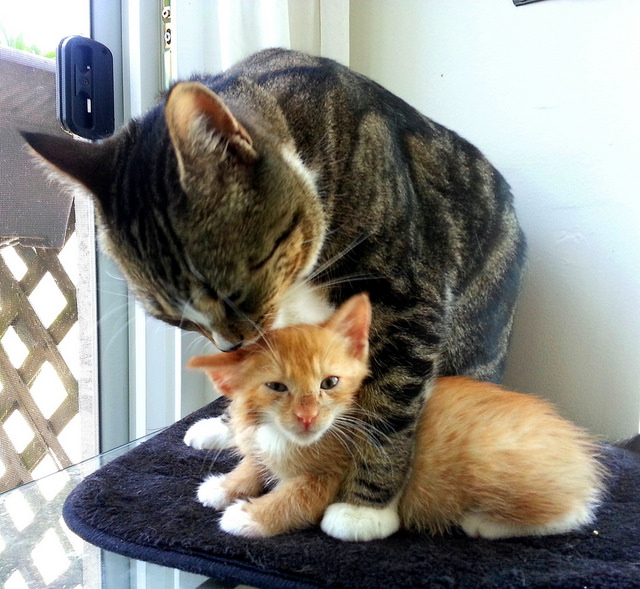 Cat Washing Kitten