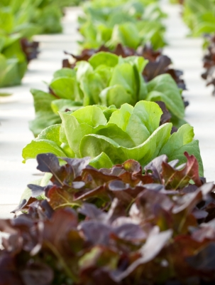 Red Looseleaf Lettuce, Image Courtesy of Panpote, FreeDigitalPhotos.net