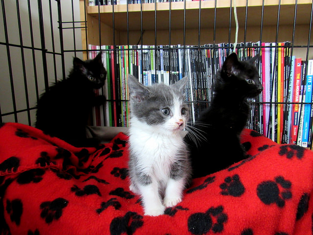 Foster Kittens in the Starter Cage