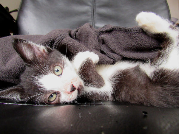 Kitten with Blanket