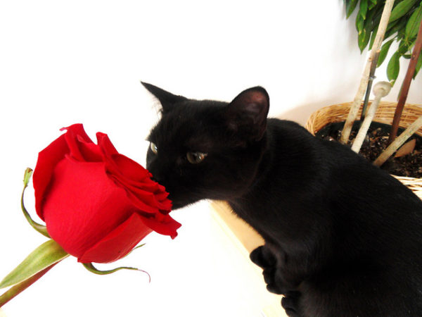 Cat with Rose